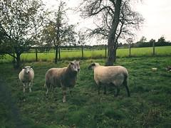 Schafe als Rasenmäher beim Nachbarn | 14. Oktober 2019 | Tarbek - Schleswig-Holstein - Deutschland (torstenbehrens) Tags: schafe als rasenmäher beim nachbarn | 14 oktober 2019 tarbek schleswigholstein deutschland olympuspenf olympusm17mmf18