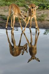 Impala reflections... (lyn.f) Tags: youngsters impala aepycerosmelampus reflections water waterislife greenseason chobenationalpark botswana botswanamagic antelope mammalswild nature naturelover nikon africa safari