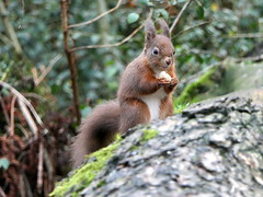 Red Squirrel (eric robb niven) Tags: ericrobbniven redsquirrel wildlife nature springwatch dundee tayport morton lochs