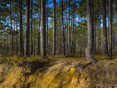 Erosion (surfcaster9) Tags: florida forest outside erosion pinetrees micro43 lumix25mmf17asph nature woods lumixg7 dirt gully