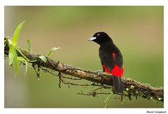 Scarlet-rumped Tanager (muriel.schupbach) Tags: scarletrumpedtanager tanager costarica bird birdwatching oiseaunoiretrouge oiseau murielschupbach mscphotoblog4evercom animal oiseausurunebranche