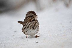 song sparrow (le cabri) Tags: songsparrow whitebackground sparrow bird animal animalwildlife beauty beautyinnature brown canada closeup feather finch highkey light nature snow winter outdoors small songbird stripped wilderness