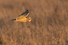 Short Eared Owl -8065 (WendyCoops224) Tags: 100400mmlmk2 80d fens canon eos ©wendycooper asio flammeus short eared owl