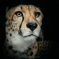 IMG_0846zw (Tomek Laskowski) Tags: cheetah animals animal wildanimals wild nature wildnature naturephotography canon view art eyes trip bigcats cats natgeowild photo photography image closer lookatme