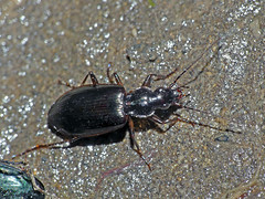 Ground-beetle Pseudoceneus sollicitus (Simon Grove (TMAG)) Tags: tasmania tmagzoology coleoptera insecta carabidae pseudoceneussollicitus