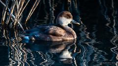 Nette rousse femelle (Switzerland) (christian.rey) Tags: netterousse canard oiseau migrateur grandecariçaie lacdeneuchâtel sony a7r2 a7rii sigma 150600 nettarufina