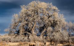 Sunlit Cottonwood Against  Dark Winter Sky (LDMcCleary) Tags: newmexico darksky stormclouds clouds winter cottonwood tree sunshine