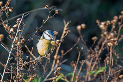 Blue tit (christina.marsh25) Tags: farlingtonmarshes naturereserve marshland reedbeds coast reclaimed birds bluetit