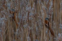 Bearded tits (christina.marsh25) Tags: farlingtonmarshes naturereserve marshland reedbeds coast reclaimed birds beardedtits