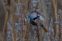 Bearded tit (christina.marsh25) Tags: farlingtonmarshes naturereserve marshland reedbeds coast reclaimed birds beardedtits