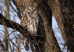 Just Resting My Eyes (NicoleW0000) Tags: owl barredowl bird birdofprey owls raptor animal wild wildlife nature naturephotography tree woods forest