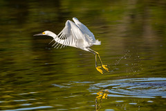 Taking to the air (ChicagoBob46) Tags: bird nature florida wildlife sanibel sanibelisland egret snowyegret jndingdarlingnwr coth5 ngc npc