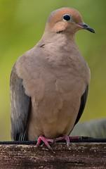 An Eye On Me (ACEZandEIGHTZ) Tags: wings winged feathers nature avian bird macro backyard birdwatcher nikond3200 mourningdove zenaidamacroura portrait closeup coth5 coth alittlebeauty sunrays5