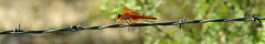Red (Flame) skimmer (Libellula saturata). Rattlesnake Springs Picnic Area. Eddy Co., New Mexico, USA. (cbrozek21) Tags: redskimmer libellulasaturata flameskimmer dragonfly insect barbedwire panorama bookmark