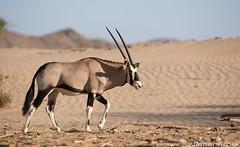 Oryx (Alastair Marsh Photography) Tags: oryx gemsbok namibia namibdesert skeletoncoast hoanib hoanibriver hoanibvalley desert antelope namibiasnationalanimal nationalanimal sand dunes dune animal animals animalsintheirlandscape wildlife mammal mammals africa africanwildlife africanmammal africanmammals