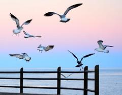 Seagulls (thomasgorman1) Tags: nikon birds shorebirds seagulls gulls malecon cortez mexico baja nature wildlife colors flying wings