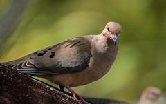 Afternoon Dove Affair (ACEZandEIGHTZ) Tags: bird avian bokeh mourningdove nikond3200 backyard birdwatcher wings winged macro closeup feathers zenaidamacroura nature