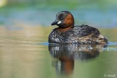 Perkozek/Little Grebe #5 (mirosławkról) Tags: bird birds nature wildlife ornithology wild silesia nikonnaturephotography 150600 grebe water pond poland lake orange tachybaptus