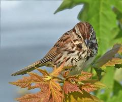 Lakeside Song Sparrow (Vidterry) Tags: sparrow songsparrow cedarlake