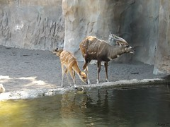 Sitatunga occidental (Marisa Tárraga DV) Tags: españa spain valencia bioparc zoo animal sitatungaoccidental fujifilmsl300 ngc naturaleza nature agua water