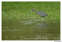 Little blue heron (muriel.schupbach) Tags: littleblueheron bird birdwatching birds héron oiseau costarica murielschupbach mscphotoblog4evercom heron