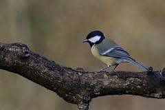 Koolmees. (jandewit2) Tags: koolmees greattit vogel bird natuur nederland netherlands natuurmonumenten nikon nature