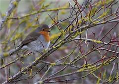Rouge-gorge (boblecram) Tags: erithacus rubecula bird oiseau vogel rougegorge passereau nature wild sauvage