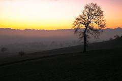 good morning (andre.kirtz) Tags: aargau nebel winter schweiz januar baum morgenstimmung freiamt natur landschaft geltwil