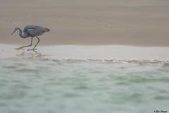 AIRONE NERO   ---   BLACK HERON (Ezio Donati is ) Tags: uccelli birds animali animals acqua water laguna lagoon spiaggia beech westafrica costadavorio assinie ilesehotile nikond500 nikon200500mm