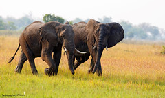 Big pals (Medium) (Ted Humphreys Nature) Tags: elephants animals okavangodelta botswana africa tedhumphreysnature