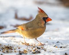 Female northern cardinal (Dan Fleury Photos) Tags: bird cardinal northercardinal winter canada ontario hamilton park feeding birder birdnerd