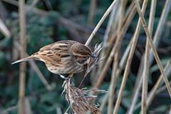 Reed Bunting (christina.marsh25) Tags: farlingtonmarshes naturereserve marshland reedbeds coast reclaimed birds reedbunting