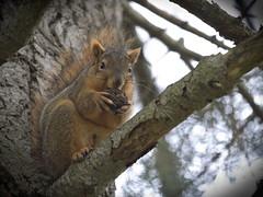 Squirrel, Morton Arboretum. 458 (EOS) (Mr. Mega-Magpie) Tags: canon eos 60d nature outdoors wildlife squirrel tree branch nut hungry the morton arboretum lisle dupage il illinois usa america