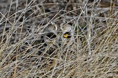 Short-Eared Owl (Gf220warbler) Tags: idaho owl asio strigidae