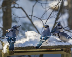 Five Snowys Owls at once!!! (Dr. Farnsworth) Tags: bluejay snowyowl five birds squirrel feeder snow sunshine fernridge mi michigan winter january2020