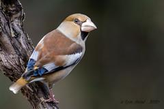 14012020-sD40_4796 (Eyas Awad) Tags: eyasawad bird birds birdwatching wildlife nature nikon frosone coccothraustescoccothraustes