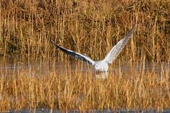 Black headed gull in winter plummage (christina.marsh25) Tags: farlingtonmarshes naturereserve marshland reedbeds coast reclaimed birds blackheadedgull