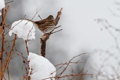 WINTER FOX SPARROW (Sandy Hill :-)) Tags: sparrows sandyhill photos nature wildlife snow winter cold foggy birds birdsofthepacificnorthwest sparrowsofthepacificnorthwest birdsofbc birdsofnorthamerica