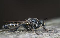 Choerades marginata (Linnaeus, 1758), male (Benjamin Fabian) Tags: choerades marginata robber fly diptera hexapod arthropod insect close up macro raub fliege hexapoda arthropoda insecta insekt raubfliege robberfly holometabola sony a6000 sel90 raynox makro