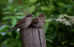 Young Sparrows. (spw6156 - Over 8,980,021 Views) Tags: young sparrows copyright steve waterhouse