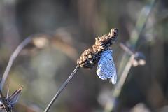 Licénido (esta_ahi) Tags: huesca españa insectos butterfly spain lepidoptera mariposa aragón lycaenidae somontano elgrado somontanodebarbastro fauna
