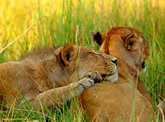 A Pillow (Medium) (Ted Humphreys Nature) Tags: lion animals okavangodelta botswana africa tedhumphreysnature