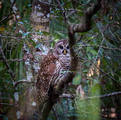 Someone is always watching... (tshabazzphotography) Tags: owl birdsofprey bird nature hiking orlando park florida wildlife photography canon vignette tree