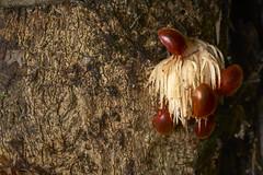 Beetles feeding on wood pulp from beetle bore (pbertner) Tags: amazon madrededios peru rainforest perunature posadaamazonas predation rainforestexpeditions understory chrysomelidae beetles