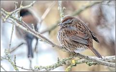 Puffed Sparrow (robinlamb1) Tags: nature outdoor animal bird sparrow songsparrow melospizamelodia