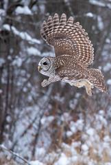 Going Up (NicoleW0000) Tags: owl barredowl owls bird birdofprey raptor inflight animal wild wildlife nature naturephotography winter snow forest woods ontario
