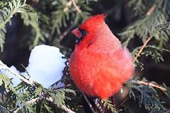1.30050 Cardinal rouge / Cardinalis cardinalis cardinalis / Northern Cardinal (Laval Roy) Tags: québec cardinalidés oiseaux aves birds sillery chezmoi passeriformes cardinalrouge cardinaliscardinalis northerncardinal lavalroy villedequébec hiver saisonhivernale