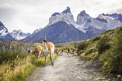 guanaco buddies (jirfy) Tags: mirador cuernos guanaco wild llama chile tdp torres del paine parque nacional national park patagonia hike outdoor trek