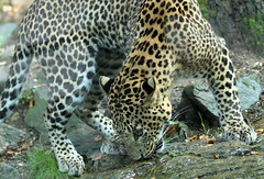 shrilankan panther Burgerszoo BB2A0136 (j.a.kok) Tags: animal asia azie artis mammal zoogdier dier predator panter panther shrilankapanter shrilankanpanther shrilankaansepanter shrlankanleopard shrlanka luipaard leopard burgerszoo burgerzoo