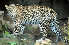 shrilankan panther Burgerszoo BB2A0157 (j.a.kok) Tags: animal asia azie artis mammal zoogdier dier predator panter panther shrilankapanter shrilankanpanther shrilankaansepanter shrlankanleopard shrlanka luipaard leopard burgerszoo burgerzoo
